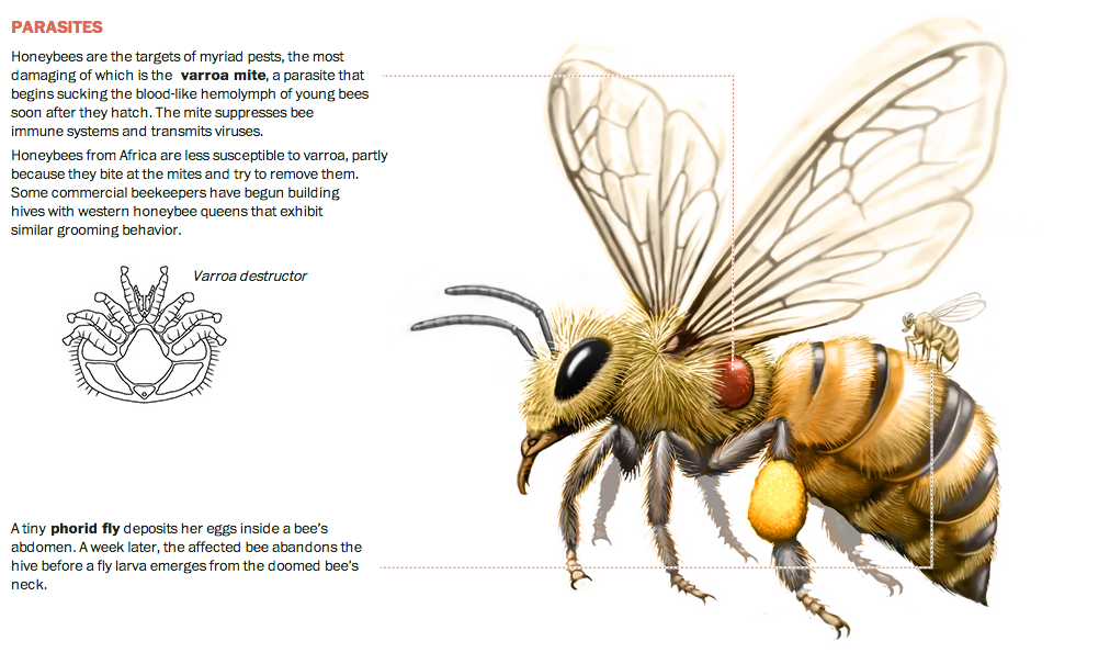 Different reasons for honeybee population collapse